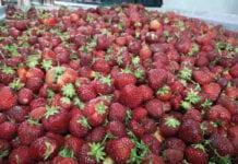 ceny truskawek spadły
