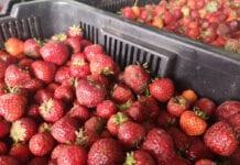 26 czerwca: Kolejne obniżki cen skupu truskawek