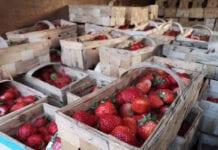 Truskawki w hurcie – ceny spadają do 6,00 zł za łubiankę