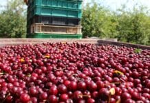 Jakie powinny być minimalne ceny skupu wiśni 2020?