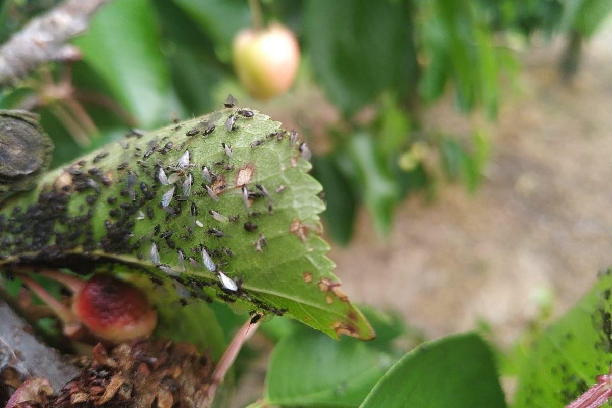Uskrzydlone mszyce na liściu czereśni