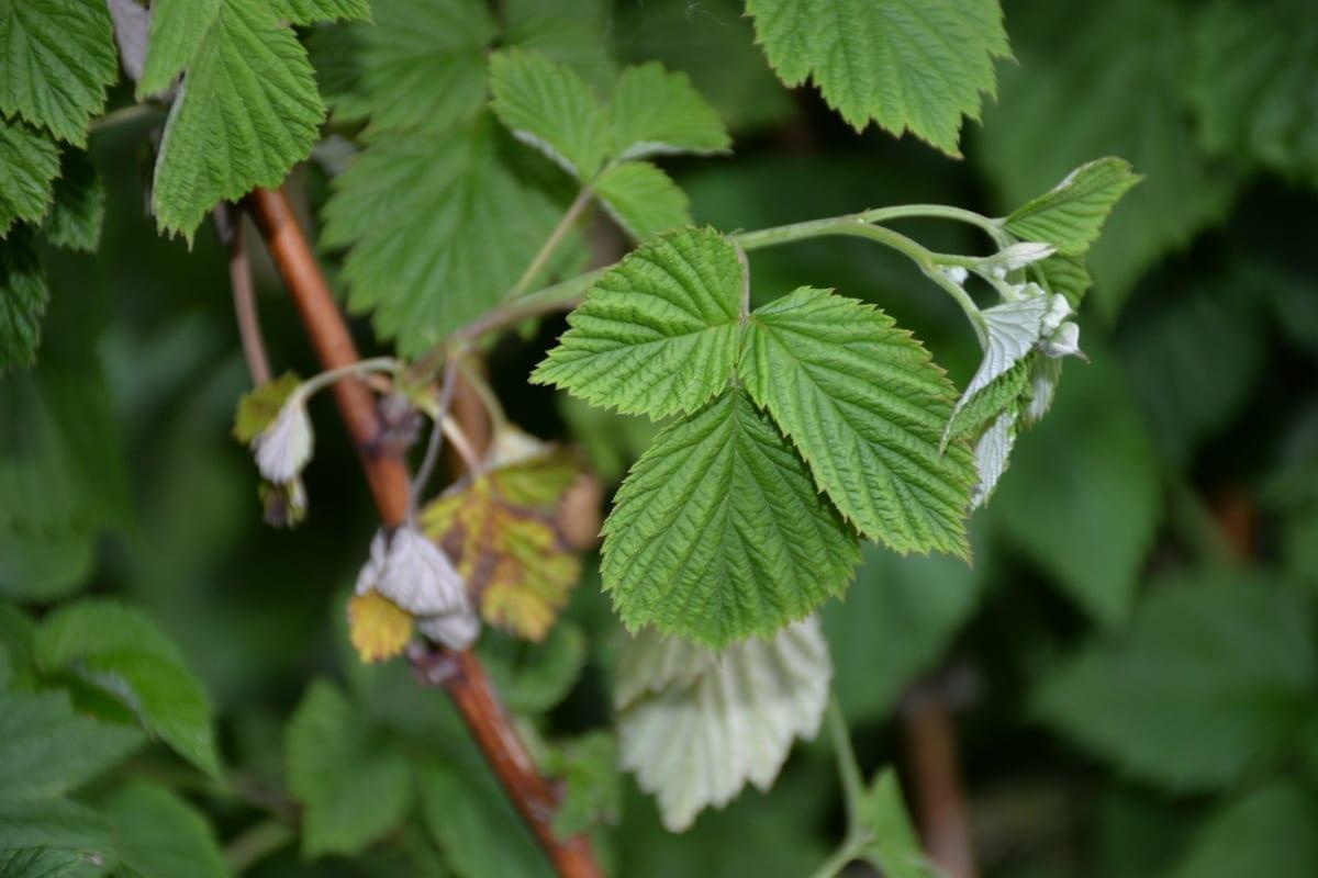 Fot. 4 a,b. Odmiana 'Glen Ample' – porażenie dolnej części pędu przez grzyby powodujące zamieranie pędów w roku poprzednim powoduje więdnięcie kwiatostanów – 15.06.2020r.