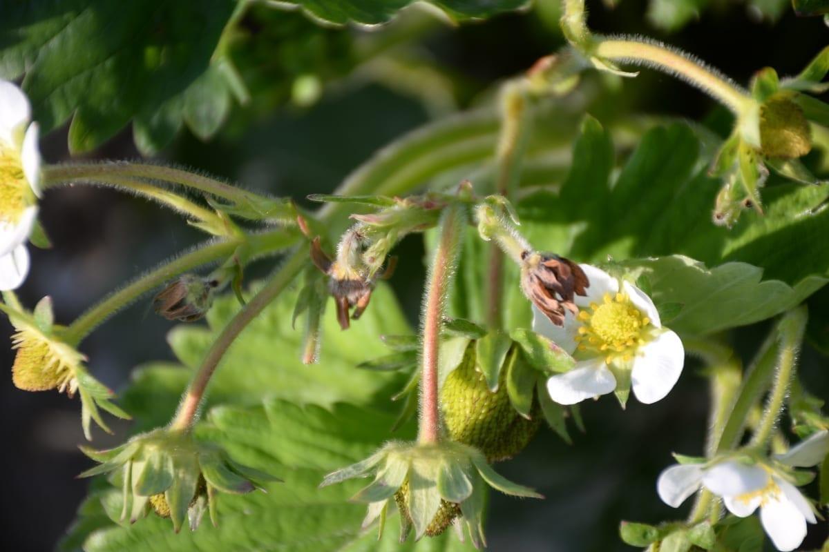 Fot. 5. Uszkodzenia pąków kwiatowych przez kwieciaka na średnio późnych odmianach 12.06.2020
