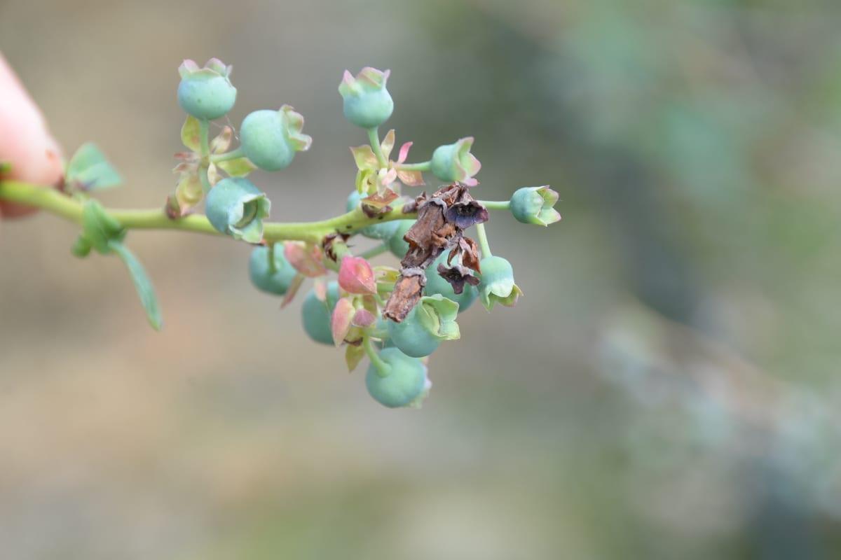 Fot. 8. Odmiana 'Bluecrop' – objawy szarej pleśni na wierzchołkach kwiatostanów 16.06.2020