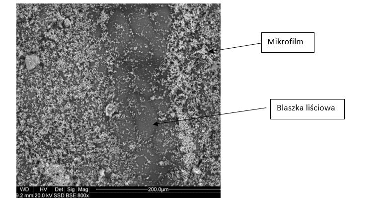 Fot. 4 Zdjęcie spod mikroskopu elektronowego liścia truskawki opryskanego produktem KlinoGrow