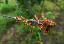 Brunatna zgnilizna drzew pestkowych: Sytuacja w sadach