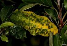nekrotyczna plamistość liści