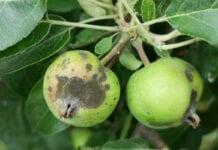 Parch jabłoni zaskoczył w wielu sadach