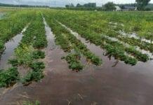 plantacje truskawek pod wodą