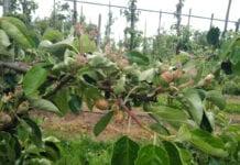 """Przymrozki 2020: Są w Polsce sady, gdzie trudno znaleźć """"czyste"""" jabłko"""