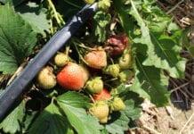 Szara pleśń w uprawie truskawek – jak zapobiegać?