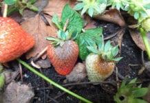 Walka z szarą pleśnią na owocujących plantacjach truskawek