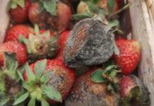 Bardzo trudny początek zbiorów dla producentów truskawek
