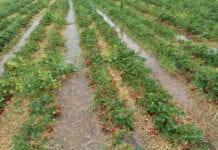 Czy obfite opady zmniejszą zbiory truskawek na Ukrainie?
