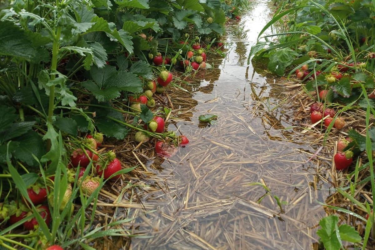 zalane plantacje truskawek