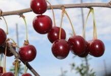 produkcja wiśni na węgrzech 2020