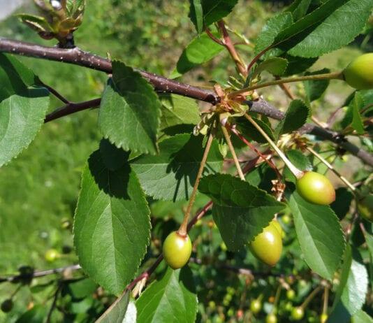 Komunikat sadowniczy – sady pestkowe, Agrosimex, 1.06.2020