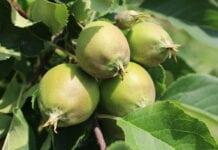MIEDŹ czy MIEĆ – co z bezpieczeństwem zabiegów miedzią po kwitnieniu w jabłoni