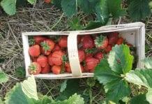 polskie truskawki