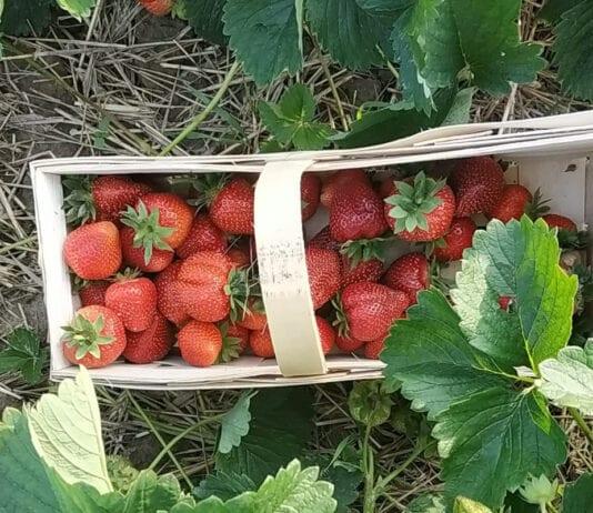 Pani Dorota otwiera swoją plantację – chętni mogą sami zerwać truskawki!