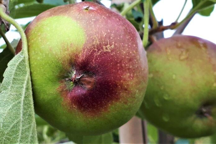 Fot.3 – Objawy mokrej zgnilizny przykielichowej – efekt infekcji w okresie kwitnienia