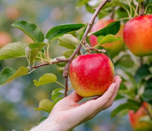 Co ma wisieć nie spadnie, czyli jak zadbać o owoce przed zbiorem