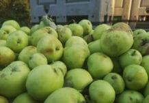 Symboliczne ilości jabłek z przerywki – jakie stawki?