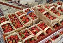 Plantatorzy oczekiwali lepszych cen za Malwinę