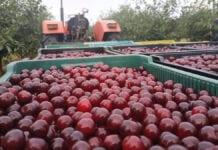 Ceny wiśni 2020: Większe zakłady nie zaczęły jeszcze skupu