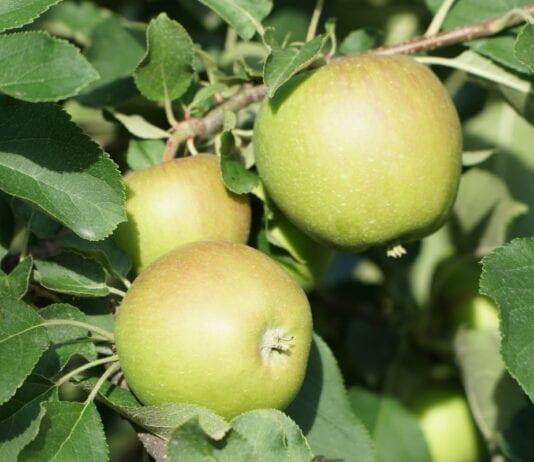Budowanie jakości jabłek – krzem i wapń, 19.07.2020