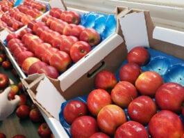 drenczer -prysznicowanie jabłek