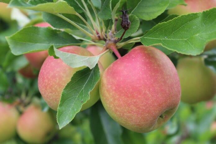 jabłka import