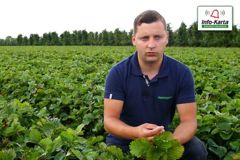 Zabiegi pozbiorcze na plantacjach truskawek – komunikat jagodowy Agrosimex, 15.07.2020