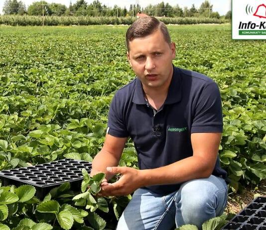 Rozsada truskawki – komunikat jagodowy Agrosimex, 13.07.2020