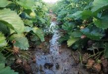 koszenie liści truskawek po zbiorach