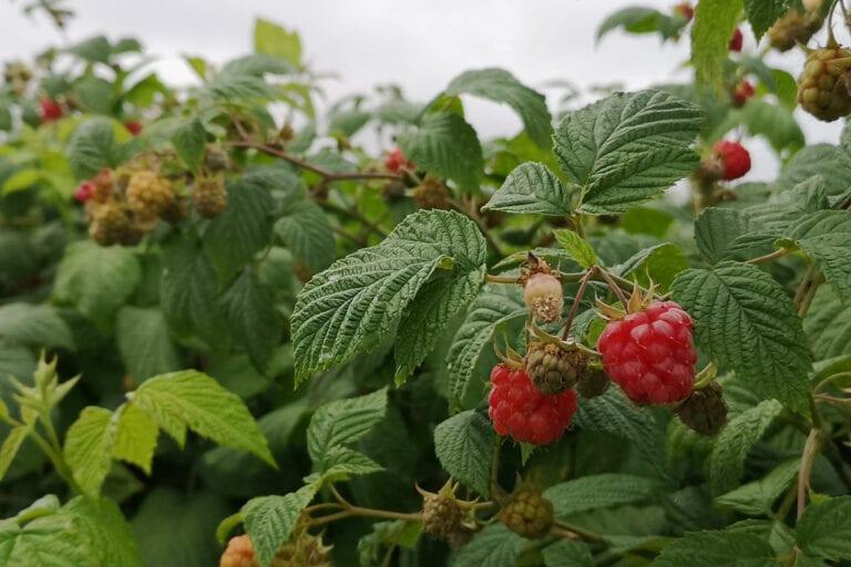 Mniejsze zapasy mrożonych wiśni i malin w USA