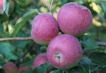 Błędne koło niedojrzałych owoców: Tym razem Paulared