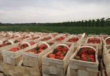 spożycie truskawek
