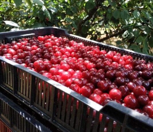 Na razie w handlu wczesne odmiany wiśni – kiedy rusza skup?