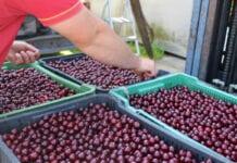 Walka o cenę wiśni w Serbii. Skupy będzie kontrolować policja