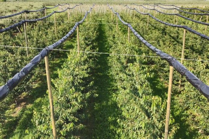 zabiegi pozbiorcze na plantacjach czereśni