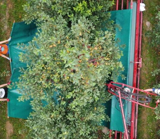 Czym otrząsać wiśnie?