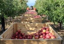 GUS szacuje zbiory jabłek w Polsce na 3,3 mln ton