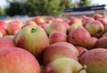 Ile jabłek zbierzemy?