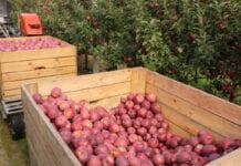 Na szacunki zbiorów jabłek jeszcze poczekamy