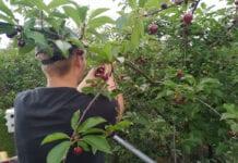 Praca przy rwaniu wiśni – jakie stawki?