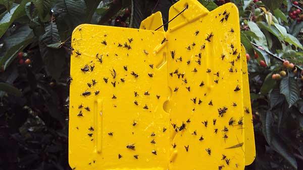 Fot. 1a. Monitoring aktywności szkodników przez obserwację odłowów na pułapkach lepowych