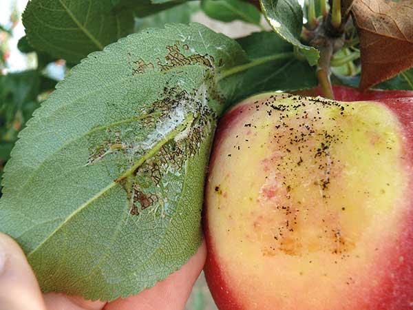 Fot. 2. Jabłko przed zbiorem uszkodzone przez zwójkę bukóweczkę