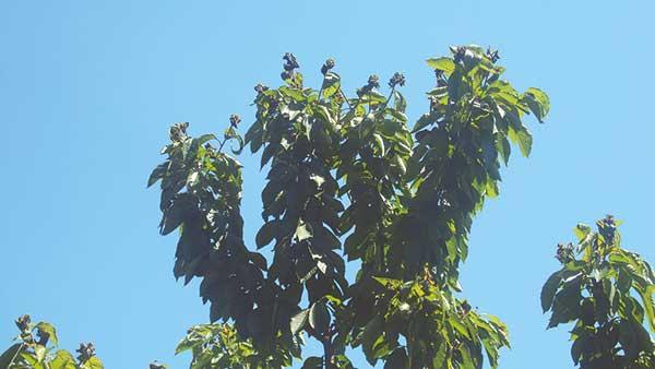 """Fot. 7. """"Niedopryskanie"""" wierzchołkowych partii drzew skutkuje np. nasileniem występowania tam szkodników"""