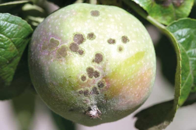 FOT. 1. Objawy parcha na zawiązku owocowym